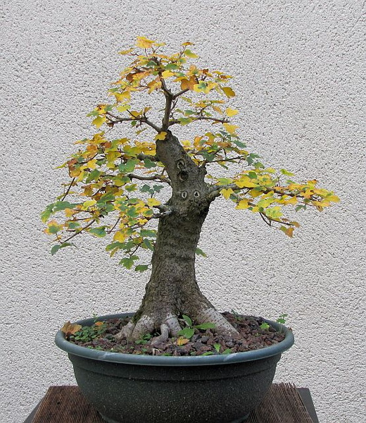 Acer Campestre Bonsai Wee trees bonsai help forum advice for all ...