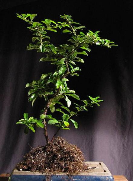 http://krizic.eu/bonsai/photos/_data/i/upload/2012/08/09/20120809130317-a382ec91-me.jpg