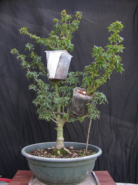 Wee Trees Bonsai Help Forum Advice For All View Topic Air Layering A Japanese Maple