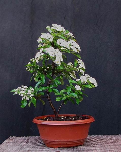 http://krizic.eu/bonsai/photos/_data/i/upload/2013/06/08/20130608192208-dfe3cb39-me.jpg