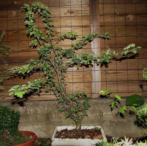 http://krizic.eu/bonsai/photos/_data/i/upload/2013/07/29/20130729230000-8b52e4b6-me.jpg