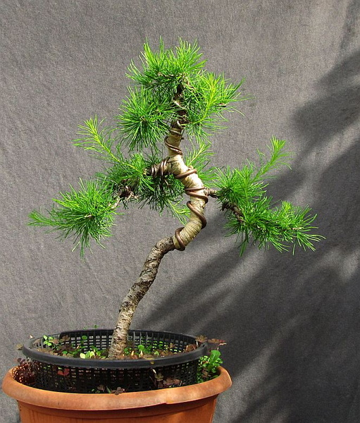 http://krizic.eu/bonsai/photos/_data/i/upload/2016/05/20/20160520184158-8c6cb09b-me.jpg