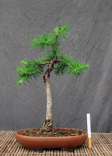 http://krizic.eu/bonsai/photos/_data/i/upload/2016/06/03/20160603235107-da5b6c6a-me.jpg