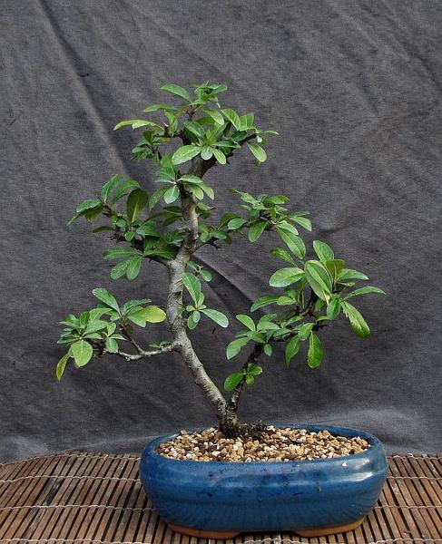 http://krizic.eu/bonsai/photos/_data/i/upload/2017/03/11/20170311170531-0ce84280-me.jpg