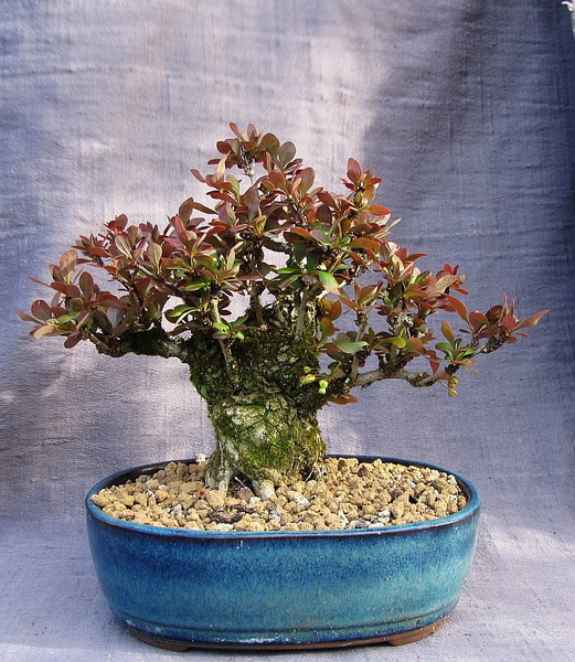 http://krizic.eu/bonsai/photos/_data/i/upload/2017/03/28/20170328214557-73f4f4ed-me.jpg