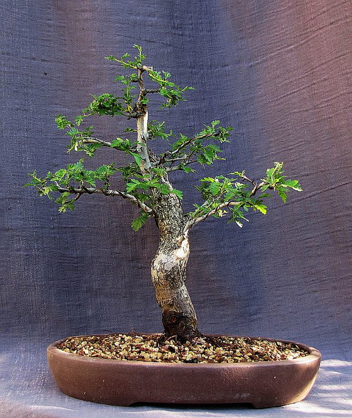 http://krizic.eu/bonsai/photos/_data/i/upload/2017/04/08/20170408212519-5824d893-me.jpg