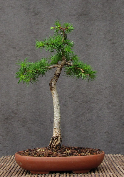 http://krizic.eu/bonsai/photos/_data/i/upload/2017/04/26/20170426160729-206876a5-me.jpg
