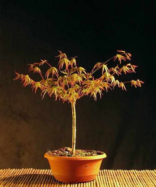 http://krizic.eu/bonsai/photos/_data/i/upload/2017/05/11/20170511215107-d4ed6c31-me.jpg