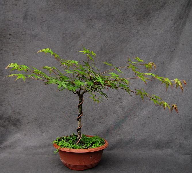 http://krizic.eu/bonsai/photos/_data/i/upload/2017/05/11/20170511215119-a8b1d499-me.jpg