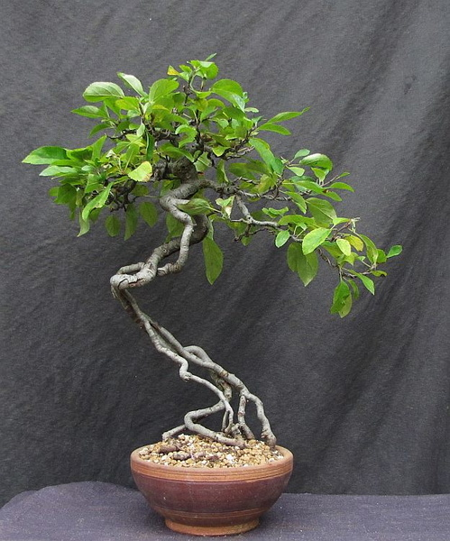 http://krizic.eu/bonsai/photos/_data/i/upload/2017/07/11/20170711223812-aec97fe9-me.jpg