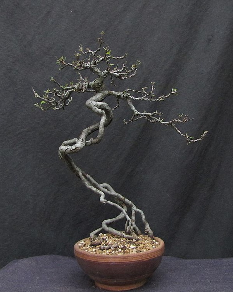 http://krizic.eu/bonsai/photos/_data/i/upload/2017/07/11/20170711223813-49bd87eb-me.jpg