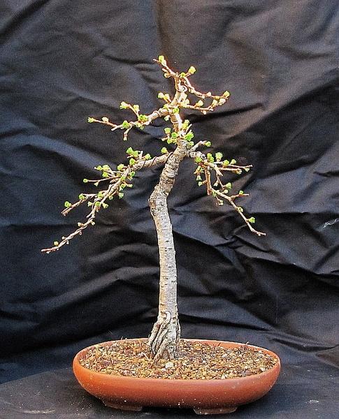 http://krizic.eu/bonsai/photos/_data/i/upload/2020/03/26/20200326171731-56f7cab3-me.jpg