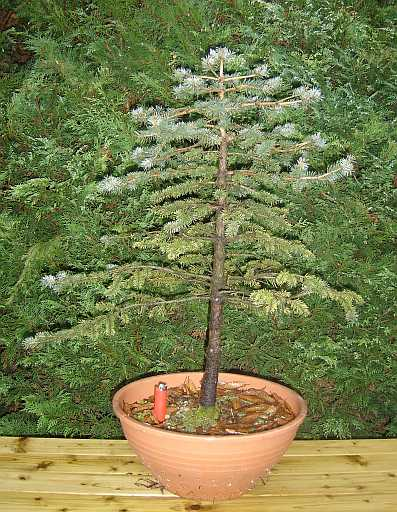 Picea pungens glauca (1) 20120412195937-9c6ea162