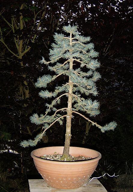 Picea pungens glauca (1) 20120412195941-c6ba7c91